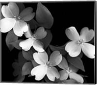 Framed Dogwood (black & white)