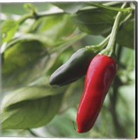 Framed Chilies