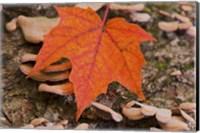 Framed Fallen Red Leaf