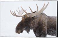 Framed Brown Moose White Antlers