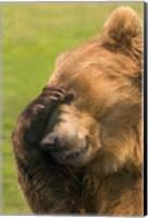 Framed Brown Bear Disbelief