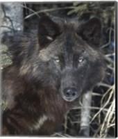 Framed Black Wolf