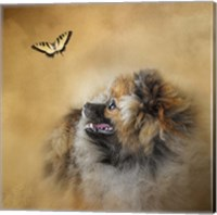 Framed Butterfly Dreams Pomeranian