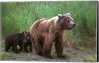 Framed Brown Bear and Cubs