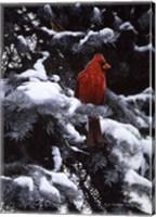 Framed Cardinal In Blue Spruce