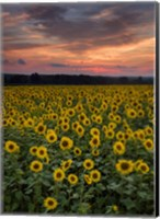 Framed Sunflowers to the Sky