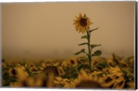 Framed Sunflowers Fog