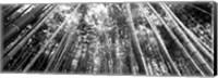Framed Low angle view of bamboo trees, Arashiyama, Kyoto, Japan