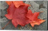 Framed Sugar Maple Foliage in Fall, Rye, New Hampshire