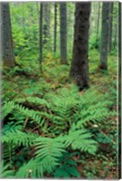 Framed Ferns in the Understory of a Lowland Spruce-Fir Forest, White Mountains, New Hampshire