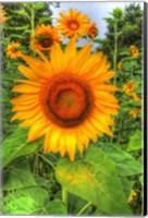 Framed August Sunflowers