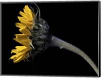 Framed Sunflower Profile