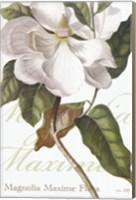 Framed Magnolia Maxime
