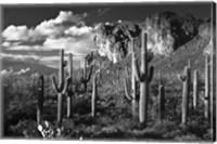 Framed Superstition Mtn Saguaros Arizona