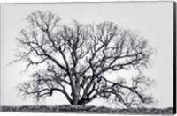 Framed Grand Oak Tree I