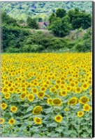 Framed Sunflower Field 01