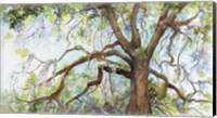 Framed Southern Live Oak Tree