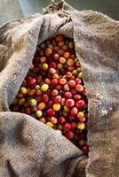 Framed Harvested Coffee Cherries In A Burlap Sack, Hawaii
