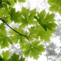 Framed Big Leaf Maples In Summer