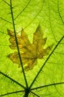 Framed Big Leaf Maple On A Devil's Club Leaf