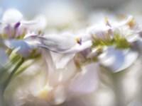 Framed Mist of Lilac II