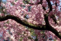 Framed Cherry Blossom Tree In Bloom In Springtime, Tokyo, Japan