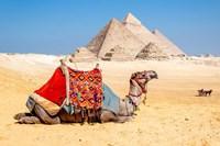 Framed Camel Resting by the Pyramids, Giza, Egypt