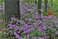 Framed Azaleas In Bloom, Jenkins Arboretum And Garden, Pennsylvania