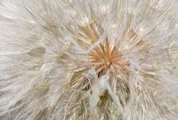 Framed Seedhead Of Yellow Salsify, Eastern Washington