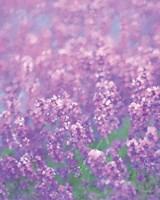 Framed Purple I
