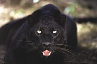 Framed Black Panther Close Up