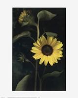 Framed Two Sunflower Stems