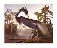 Framed Louisiana Heron