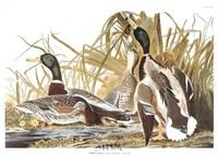 Framed Mallard Duck