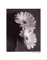 Framed Fresh Cut Gerbera Daisy I