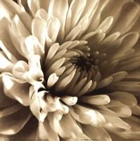 Framed Sepia Bloom I