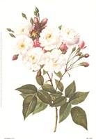 Framed Rosa Noisettiana