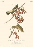 Framed Wandering Rice Bird