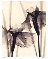 Framed Japanese Iris