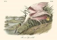 Framed Roseate Spoonbill (light pink)