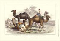 Framed Arabian Camels