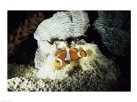 Framed Clown Fish and an Anemone