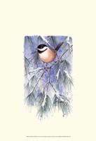 Framed Chickadee in White Pine
