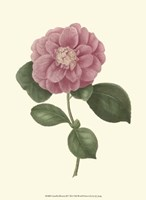 Framed Camellia Blooms III