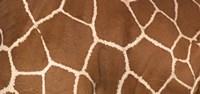 Framed Close-up of a reticulated giraffe markings