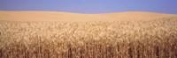 Framed Golden wheat in a field, Palouse, Whitman County, Washington State, USA