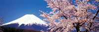 Framed Mt Fuji Cherry Blossoms Yamanashi Japan