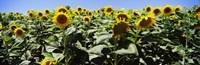 Framed Sunflower field, California, USA