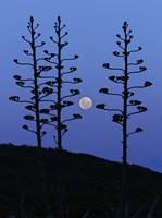 Framed moon rising between agave trees, Miramar, Argentina