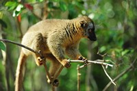 Framed Common Brown Lemur on branch, Ile Aux Lemuriens, Andasibe, Madagascar.
